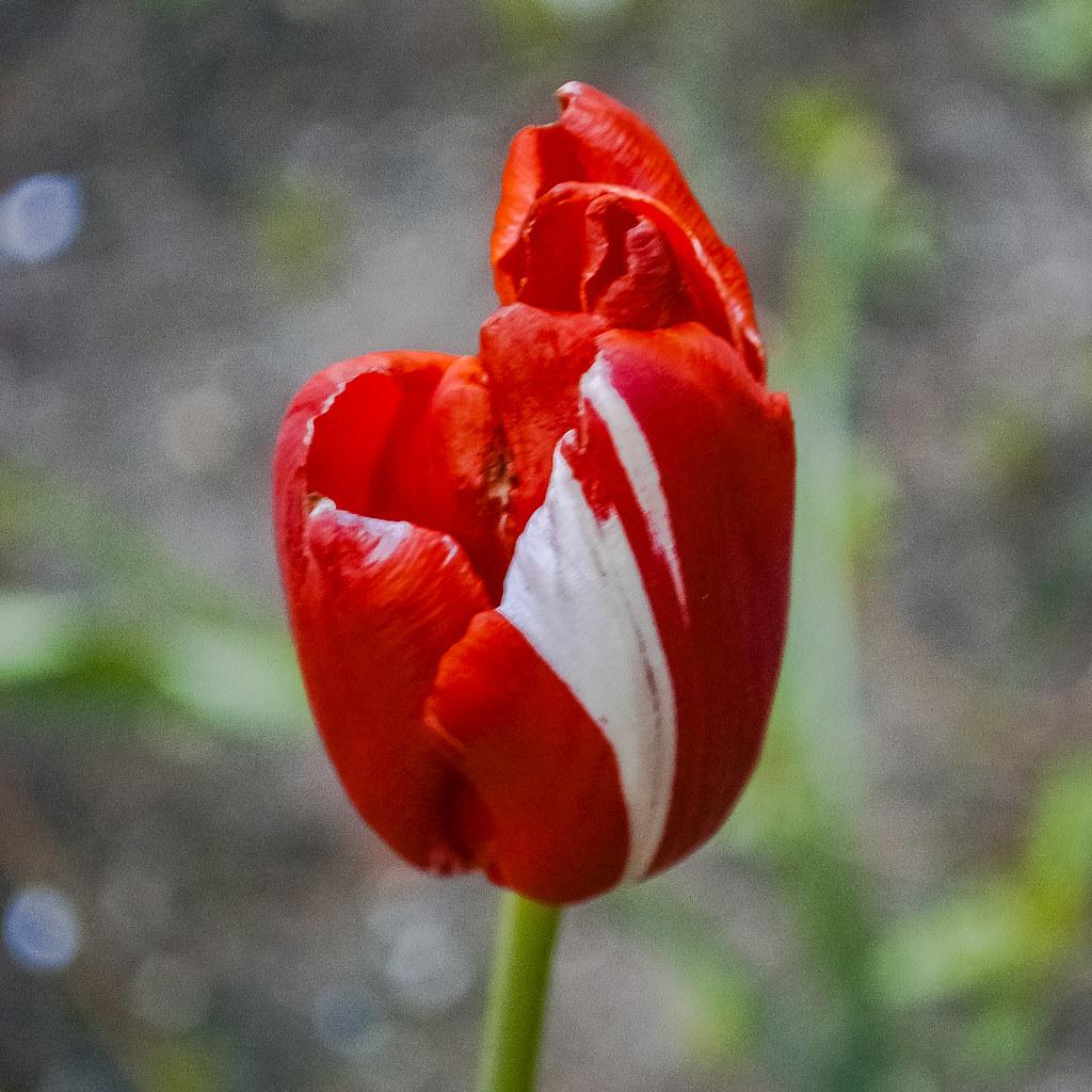 Spectacular bicolor tulip! 19:06:25 DSC_2131