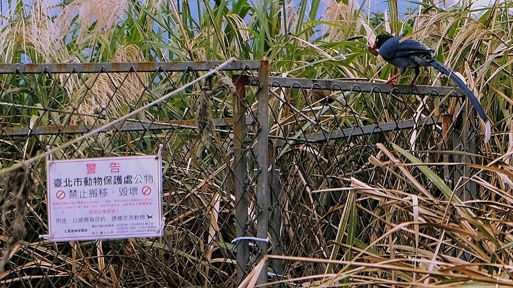 除了狗、貓,台灣藍鵲或其他野生動物也會利用人餵的食物。但這不只會改變野生動物的覓食習慣,更可能增加其在覓食時被流浪狗攻擊的機率。攝影:曾以寧。