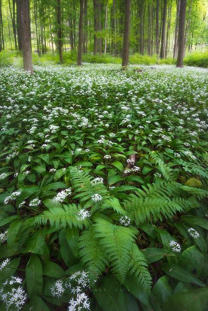 Amazig Hungarian Forest
