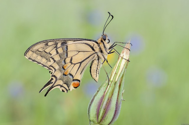 *Swallowtail in the morning light*