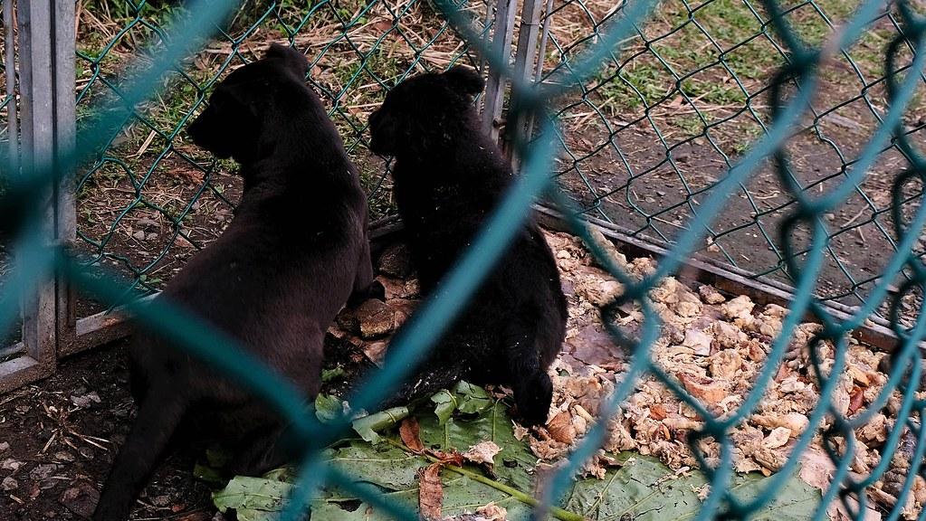 於夢幻湖捕捉到兩隻4個月大的公幼犬。攝影:曾以寧。