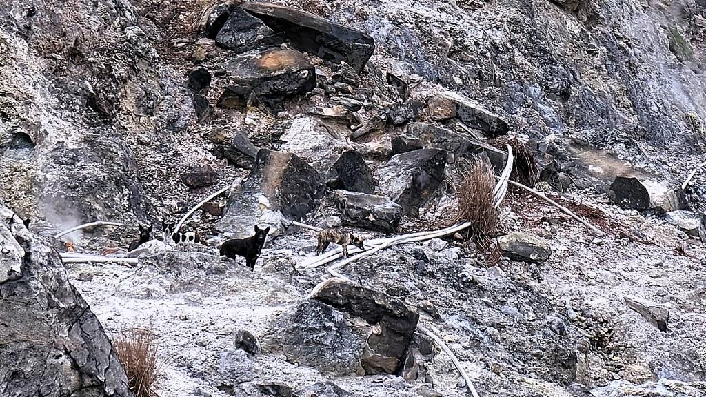 2 野犬成群後獵捕能力極強,甚至可以攻擊兇悍的山豬。圖為馬祖窟地區的狗群。 - 50837121218