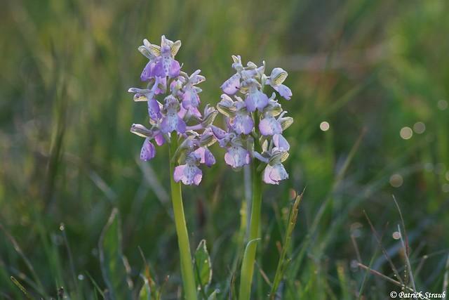 Orchis bouffon (fr) - (Anacamptis morio (L.) R.M.Bateman, Pridgeon & M.W.Chase, 1997) - Kleines Knabenkraut (de) - Green-winged orchid (en)