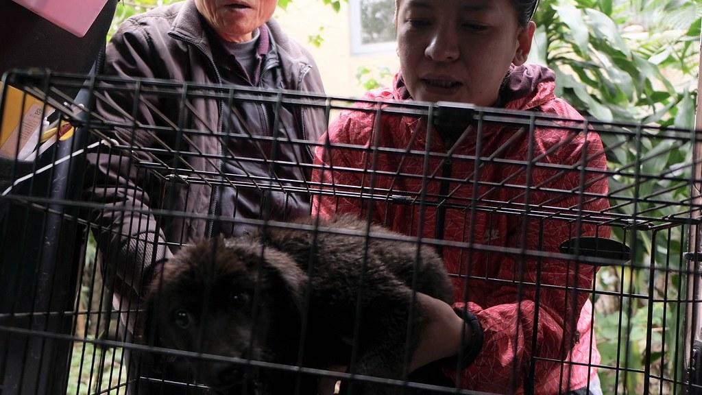 27 住在新北投站附近的愛媽常協助送養幼犬。這隻在領養市場上最不受歡迎的「黑色米克斯」被領養已超過4… - 50837930272