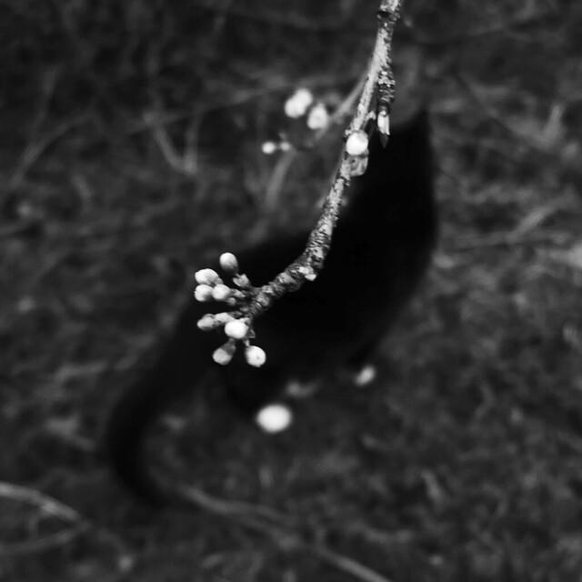 cat & blossom
