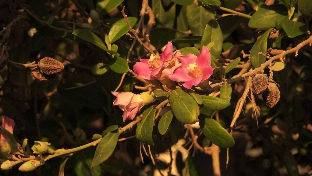 Лагунария Патерсона (Lagunaria patersonii)