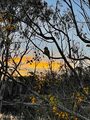 Kookaburra sunset.jpg
