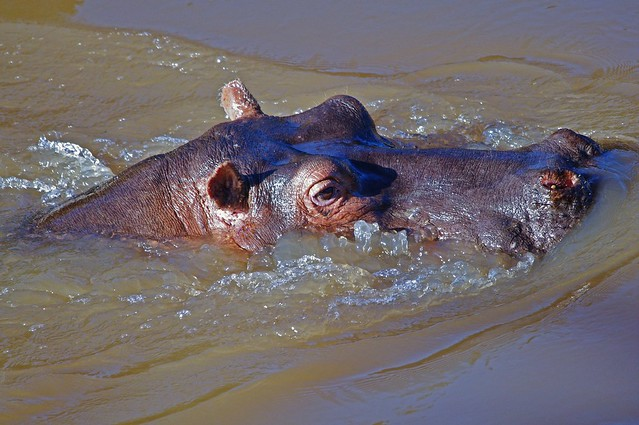 Hippo Enjoying The Water (Hippopotamus amphibius)
