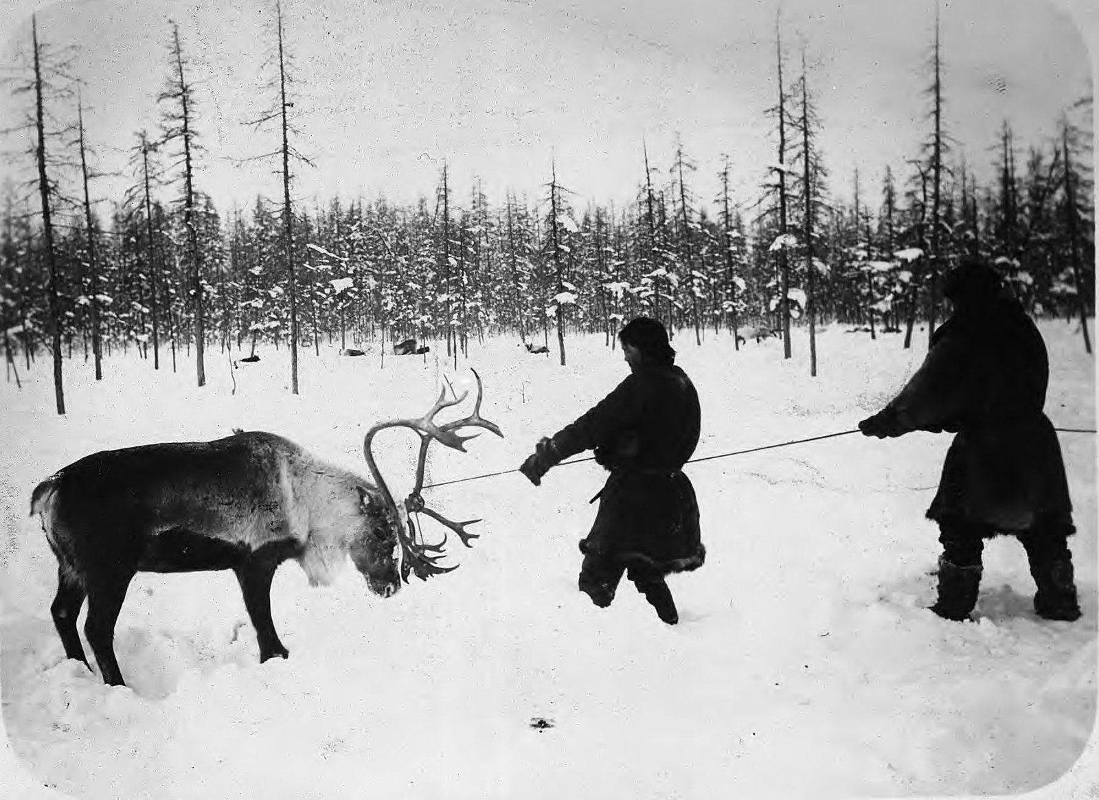 Поймали оленя.