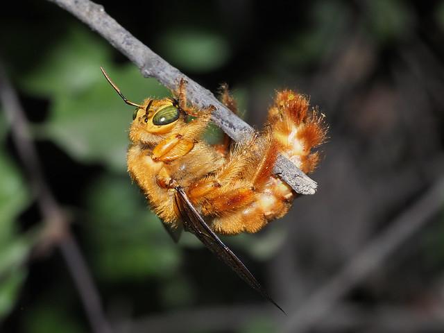 Abejorro carpintero (Xylocopa augusti), macho.