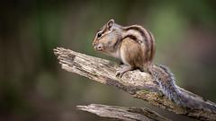 Grondeekhoorn - Siberian chipmunk