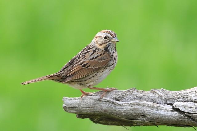 Lincoln's Sparrow / Bruant de Lincoln ( Richard )