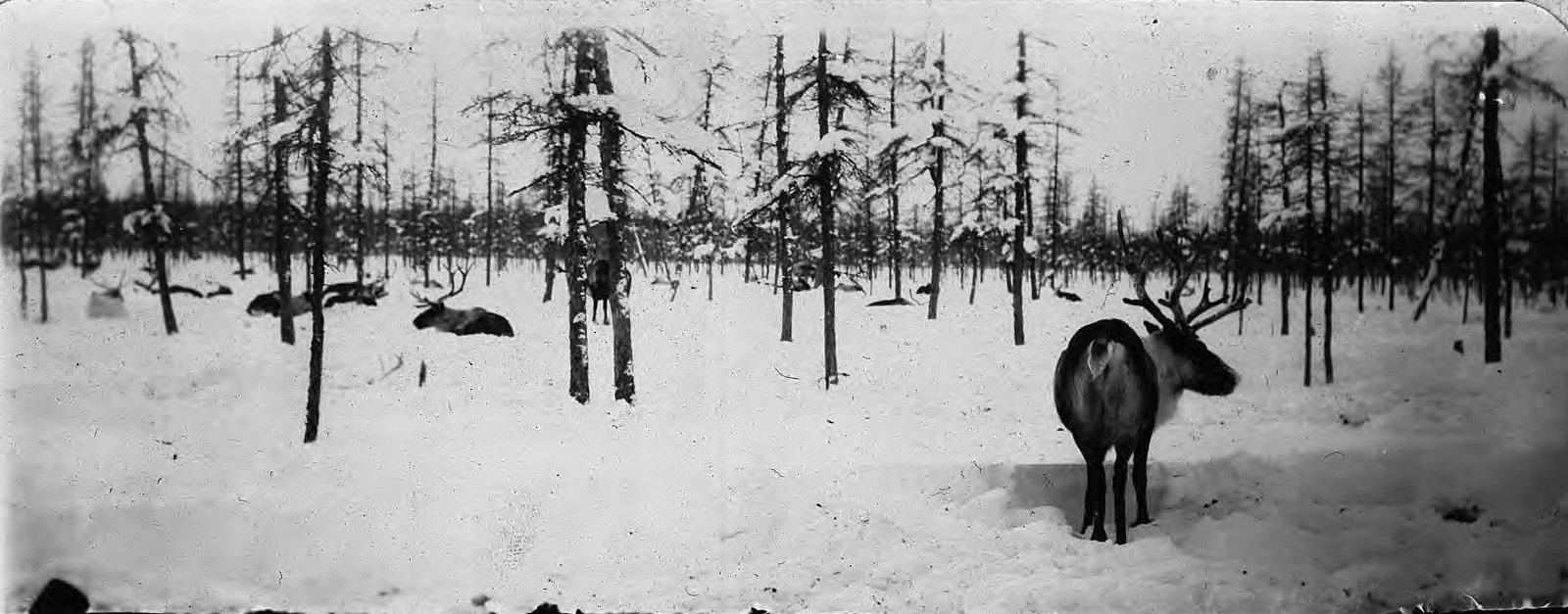 Булун-Казачье-Абый-Среднеколымский путь. Олени в лесу