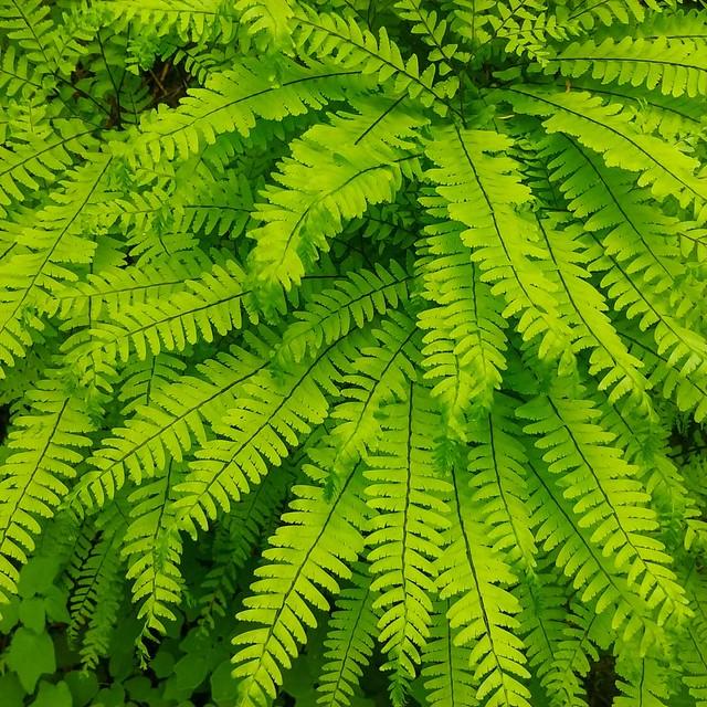 Gigantic patches of #maidenhairfern ... #hiking #spring #verdant #hoytarboretum #portland #pdx #PNW #fern #🌿