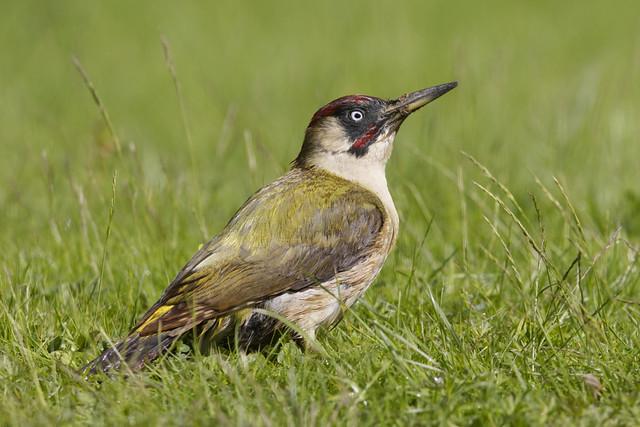 European Green Woodpecker ♂ Picus viridis