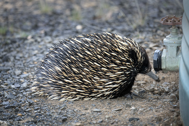 Echidna after the drink
