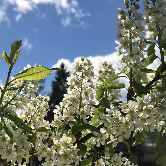 Birdcherry Flowers
