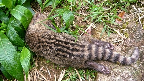 疑似遭野犬咬死的保育類動物麝香貓。圖片來源:陽明山國家公園管理處。