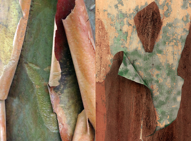 Abstract diptych of unique colours of a peeling Paper Maple tree together with cracked paint on a weathered wall
