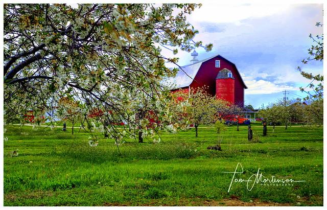 Door County Cherry Blossoms