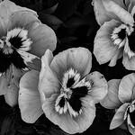 "Violet ""Black and White"""