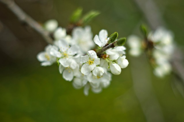 Plum tree is blooming