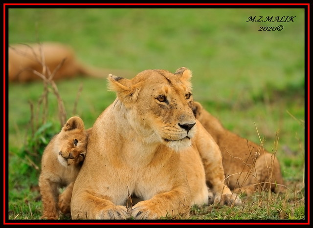 FEMALE LIONESS (Panthera leo) WITH HER CUB......MASAI MARA......OCT 2020