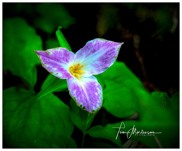 Purplish  Woodland Trillium