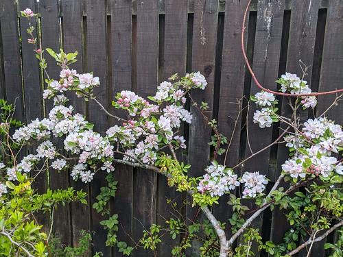 Apple blossom, my garden