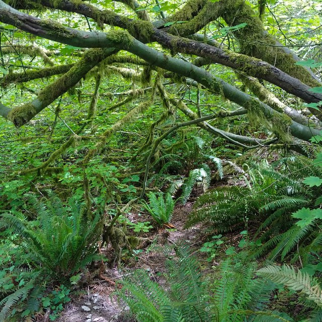 #fern #moss #vinemaple #forest #hiking #hoytarboretum #portland #pdx #PNW #🌿