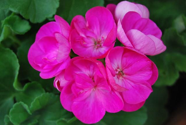 Mi Malvon rosado - Minha malva rosa -