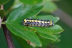 Closeup of the colorful caterpillar of the figure of eight moth,  Diloba caeruleocephala on a leaf of Common hawthorn , Crataegus monogyna