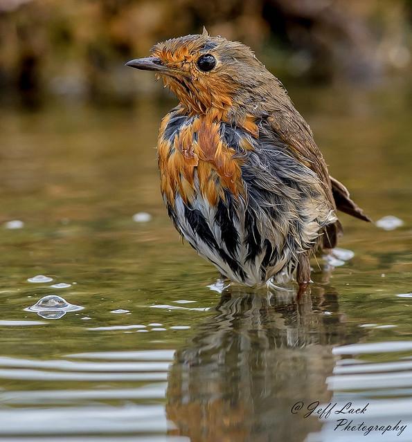DSC5116 Robin..