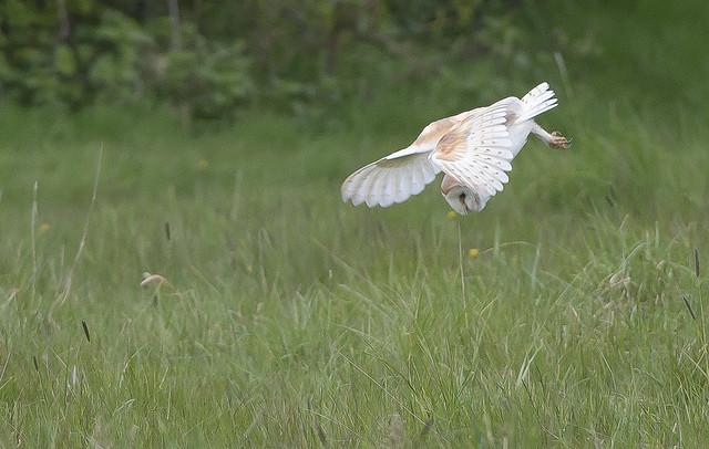Barn Owl  Ingbirghworth South Yorkshire England May 2021