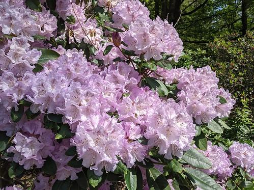 Rhododendrons, Balbirnie Park, Fife