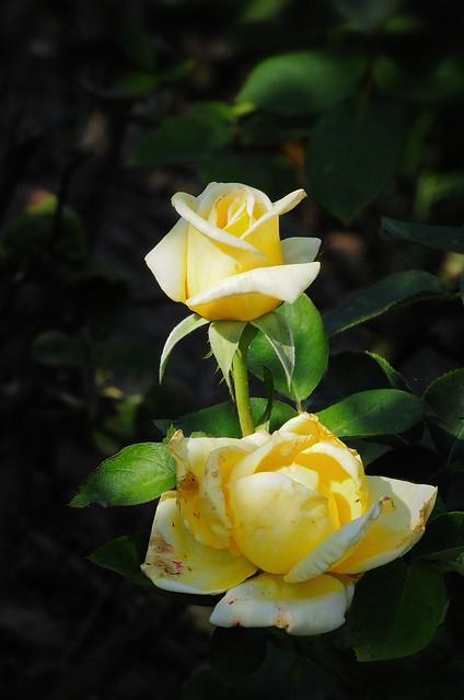 2021.05.22 Yellow Roses (D90)