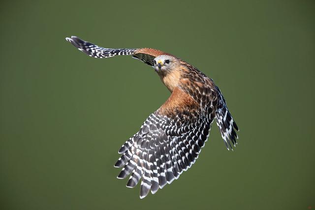 Red Shoulder Hawk 3I0745