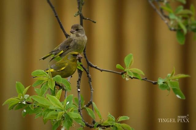Grünfinken Paar