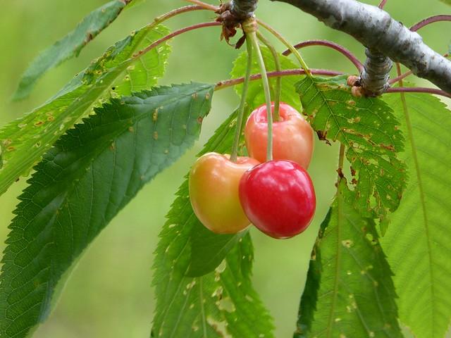 tempo di ciliegie