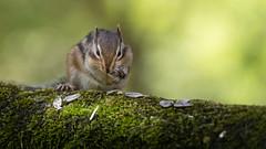 Ground squirrel / Siberian chipmunk