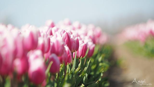 pink tulips everywhere