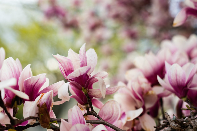 The magnificent Magnolia