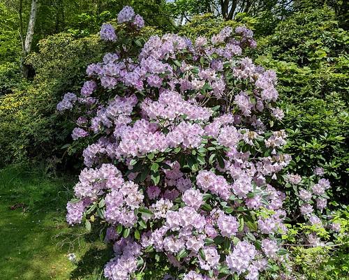 Rhododendrons, Balbirnie, Fife