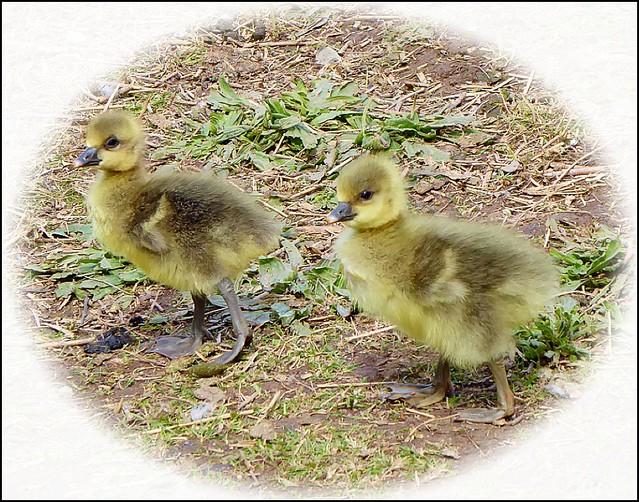 Two Goslings ...