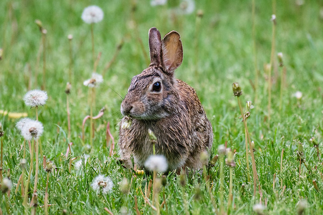 Cottontail - 0659