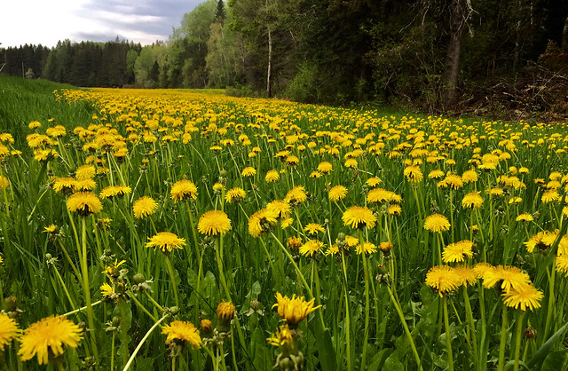 A Gathering of Yellow... Northern Maine