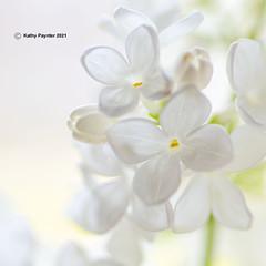 Lilac Square 3780