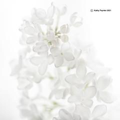 Lilac Square 3765