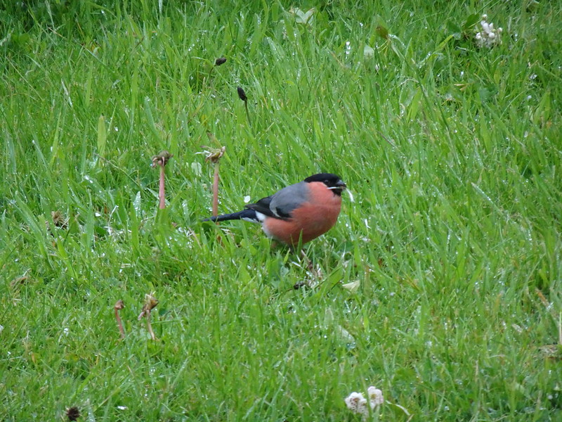 Beautiful Male Bullfinch with a rose pink breast