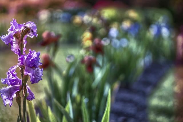 un boked d'iris